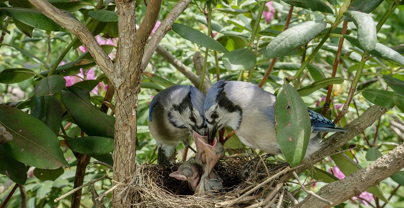Backyard Wilderness Fps Baby Blue Jay Family