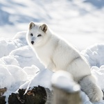 Arctic Fox 800X600