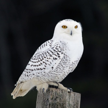 Get To Know The Snowy Owl A Canadian Vistor