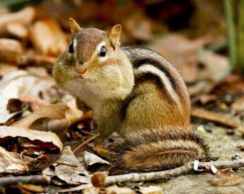 ask a naturalist what do chipmunks do in winter