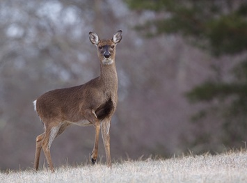 White Tailed Deer 800X600