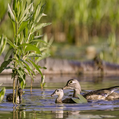 Backyard Wilderness Ducklings 800 X 600