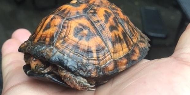Box Turtle O 5 29 18