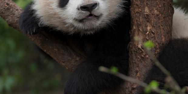 Pandas 2019 800 X 500