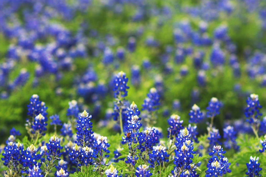 Where to Enjoy Texas' Best Bluebonnet Bloom in Years
