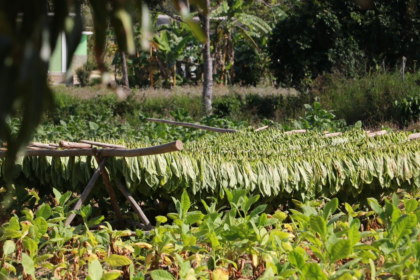 Tobacco Farm Tour and Hands on Experience