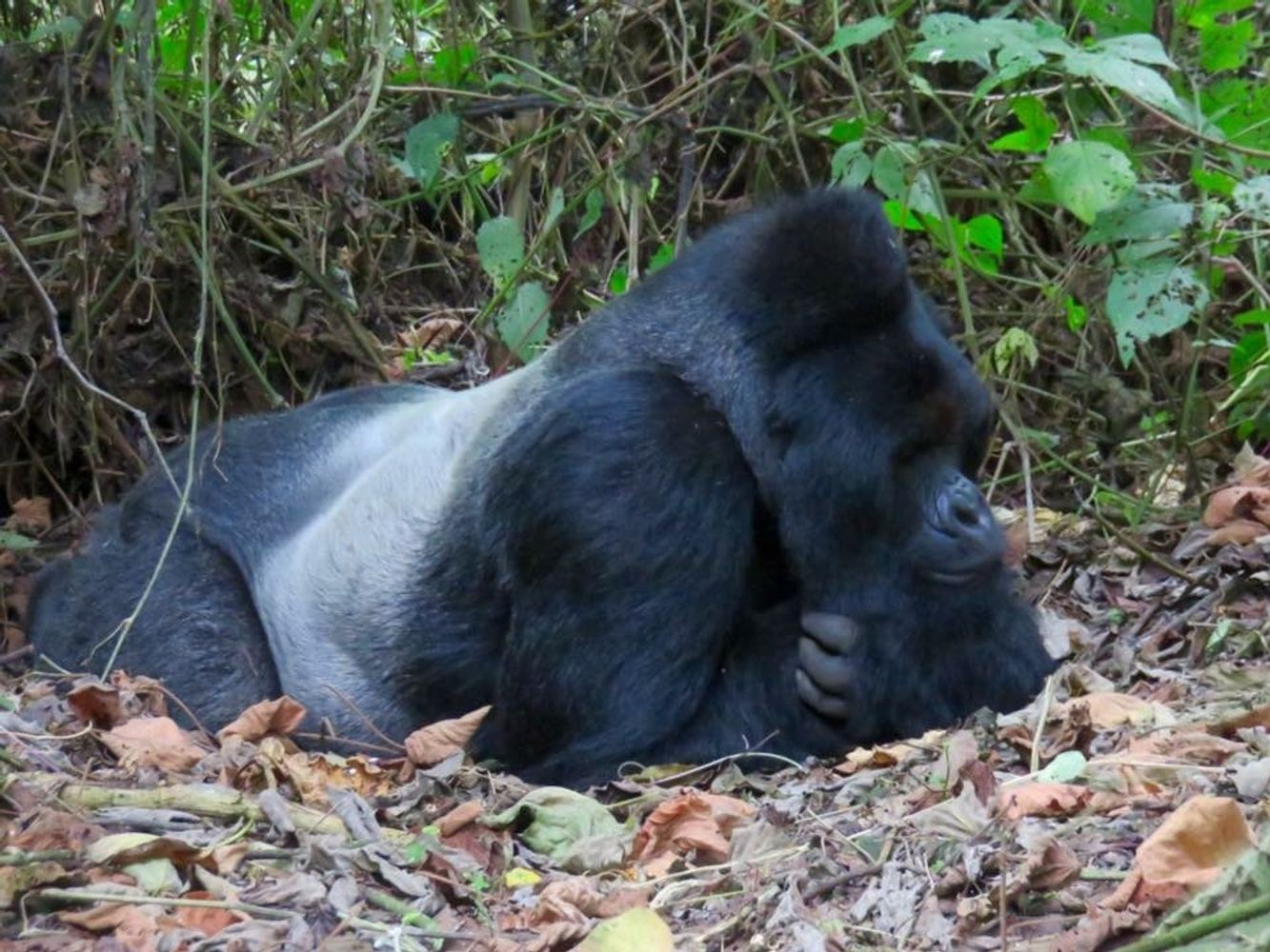 Mountain gorilla trek and active volcano hike in Virunga National Park