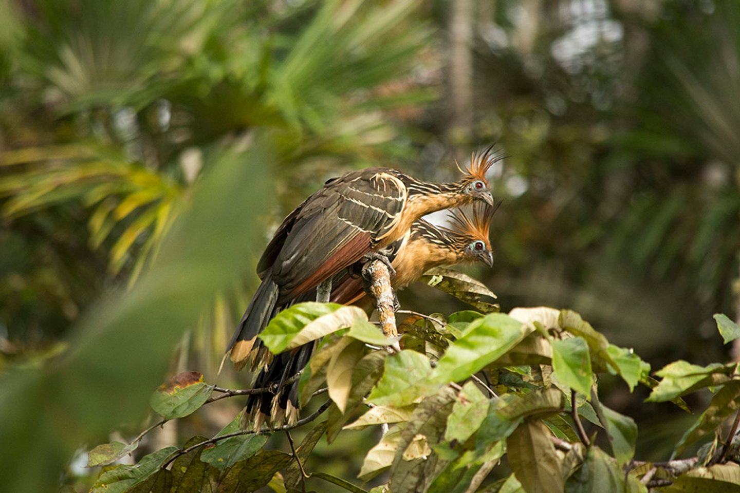 BIRD WATCHING WEST TO EAST, CLOUD FOREST, ANDES AND AMAZON 15D/14N -