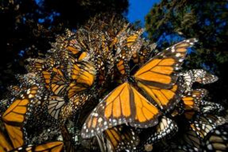 Monarch Butterfly Migration Adventure!