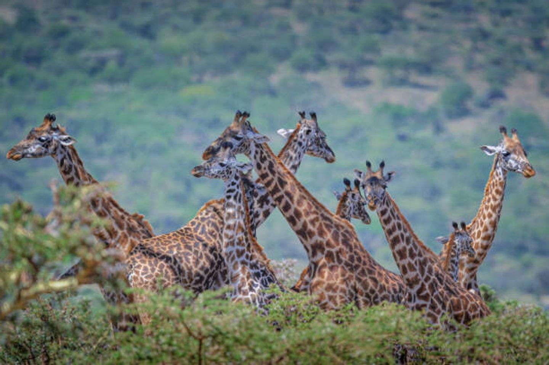 5 DAYS CALVING-GREAT TANZANIA SERENGETI MIGRATION SAFARI IN SERENGETI,