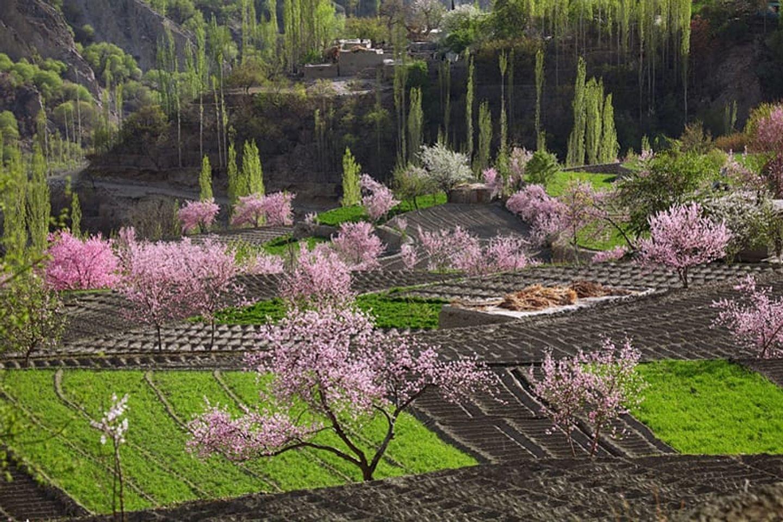 Cherry blossom tour to Hunza Pakistan