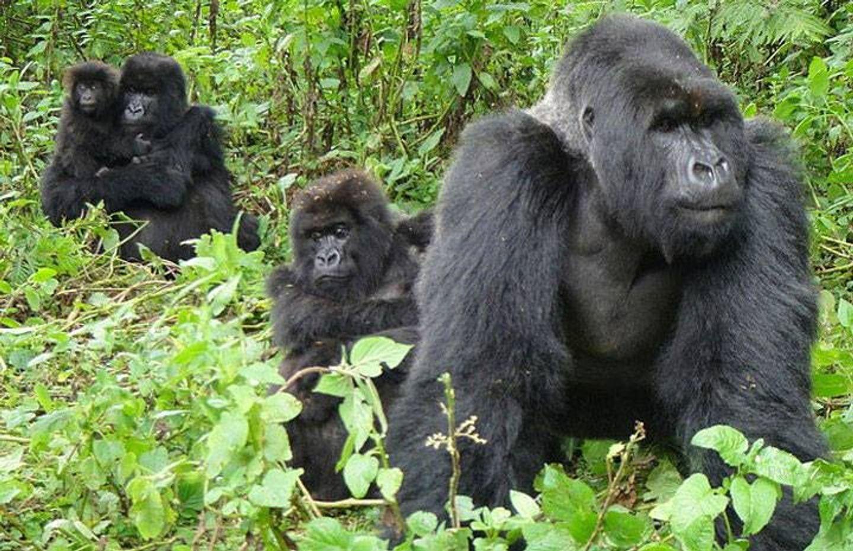 1 Day Gorillas trekking in Rwanda