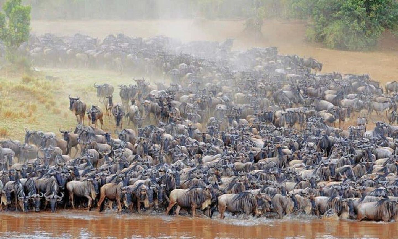Migration  of Wilderbeest