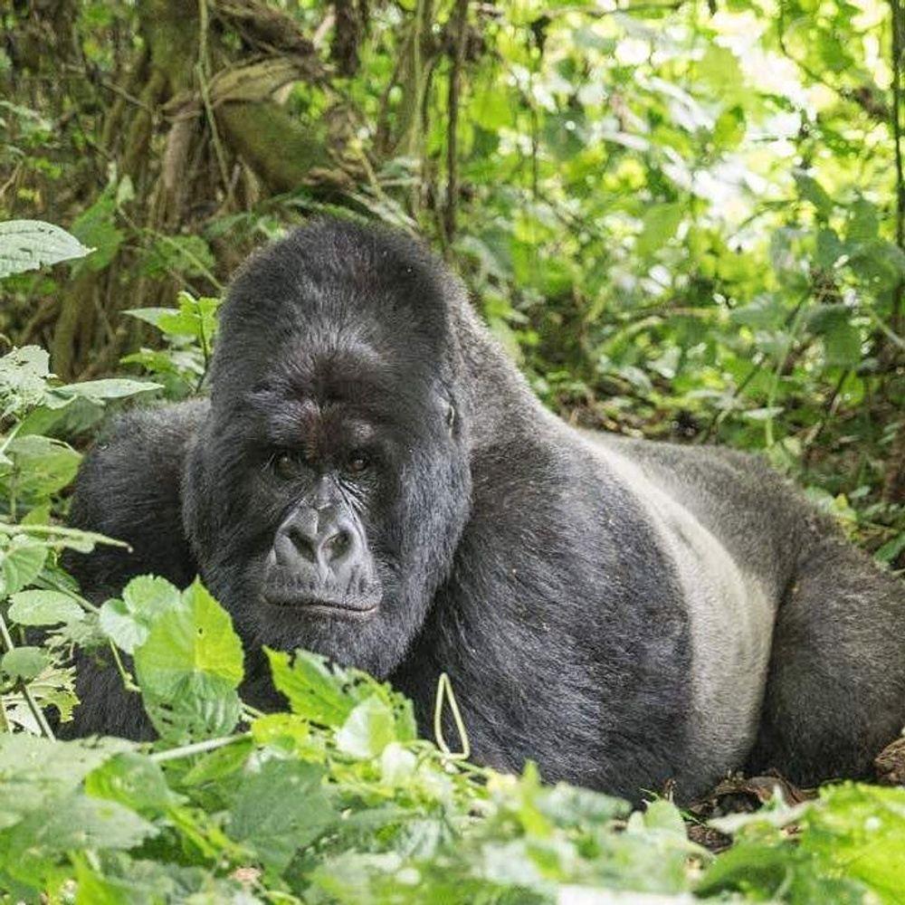 4-Day Budget Nyiragongo Volcano and Gorilla Trekking