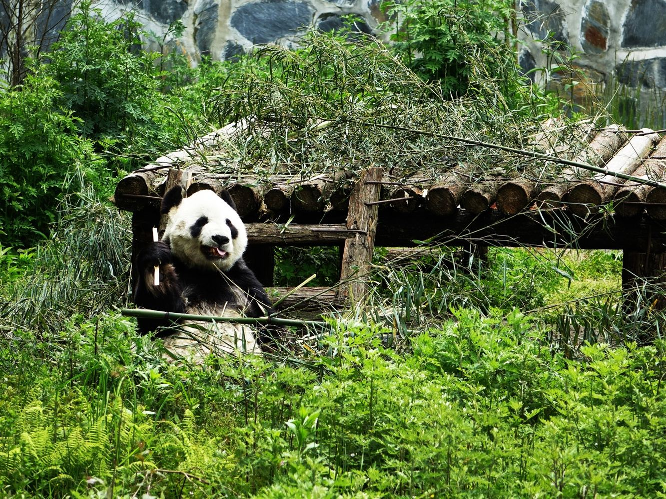 Wildness Training and Reintroduction of Giant Panda
