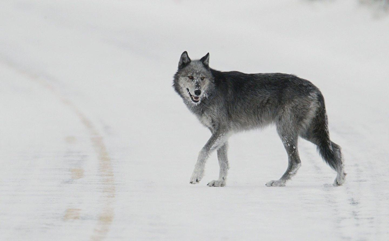 Yellowstone 2021: Winter Wolves, Wildlife & Photography Basics