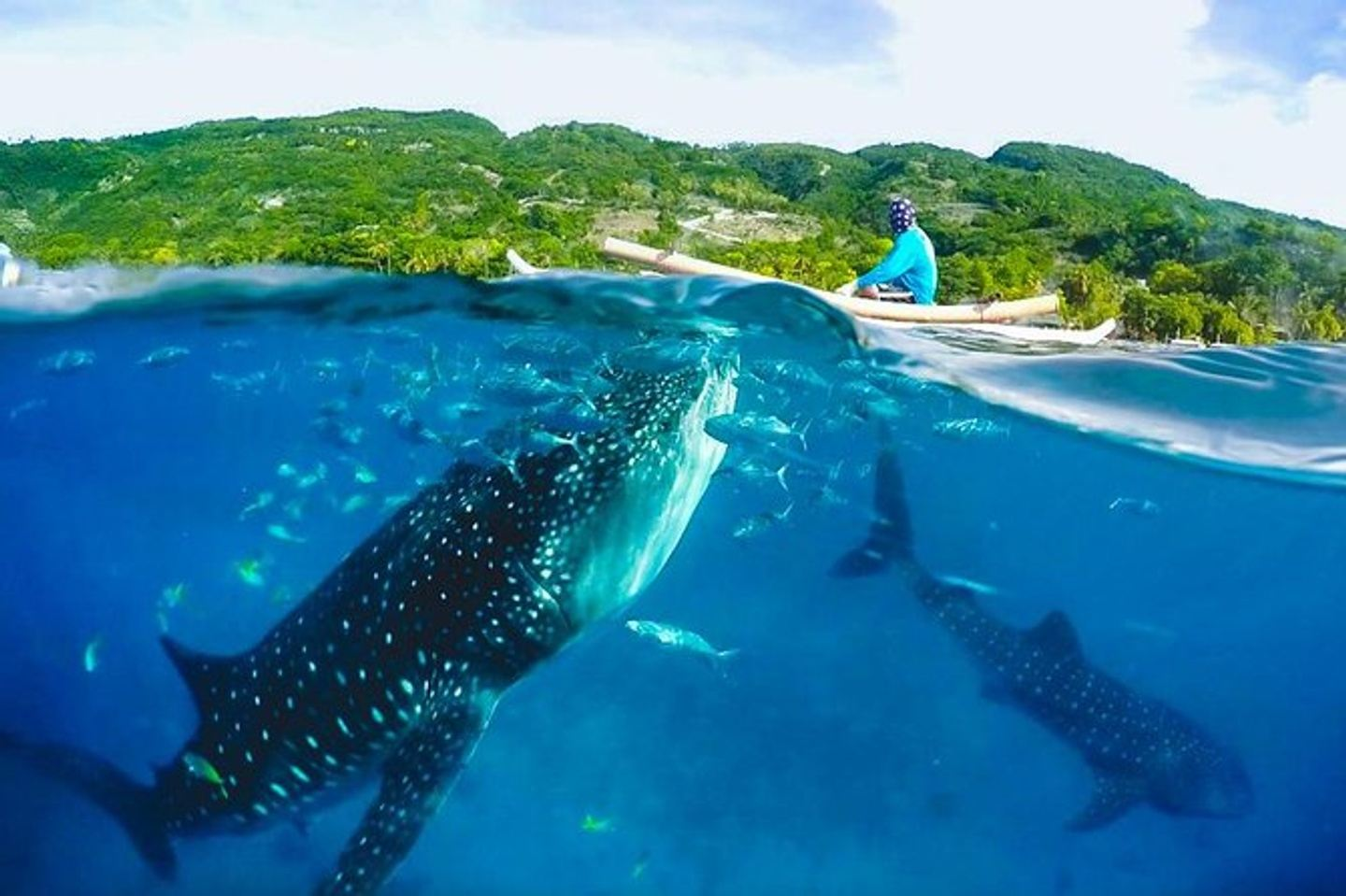 Whales Sharks in Oslob