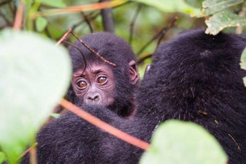 3 days Gorilla trekking Bwindi Uganda (21/oct)