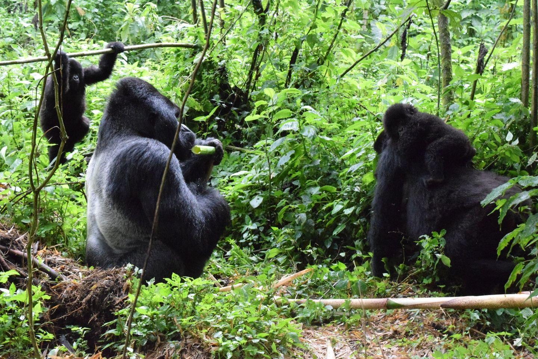 3 DAYS LOWLAND GORILLAS TREKS IN THE DRC