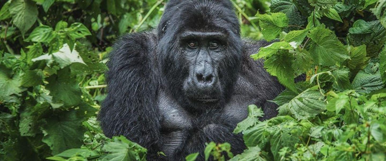 3 Days Bwindi Gorilla Safari Uganda Tour
