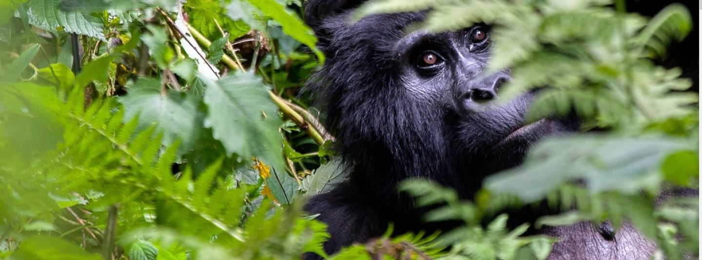 3 Day Uganda Gorilla Tour Bwindi Impenetrable Forest