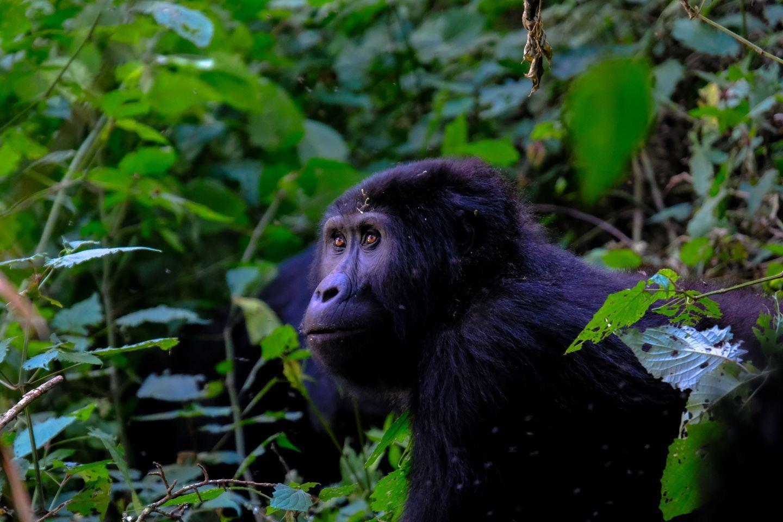 3 Days Gorilla Safaris Uganda
