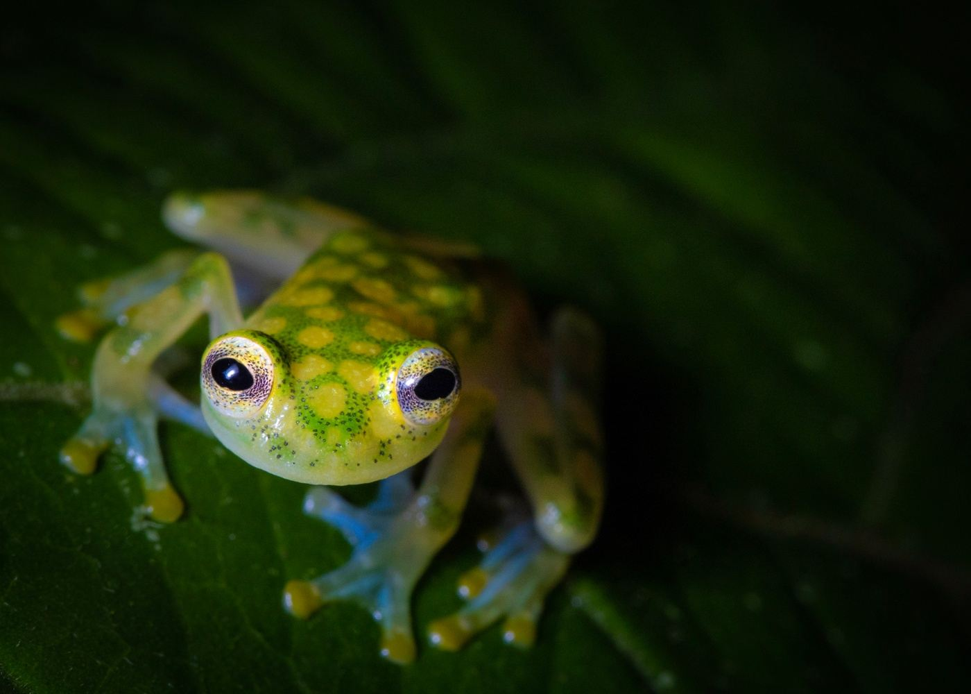 Arenal Night Walk - Looking for reptiles and amphibians