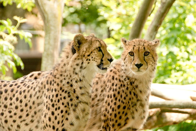 5-Days Amboseli, Nakuru, & Maasai Mara Safari