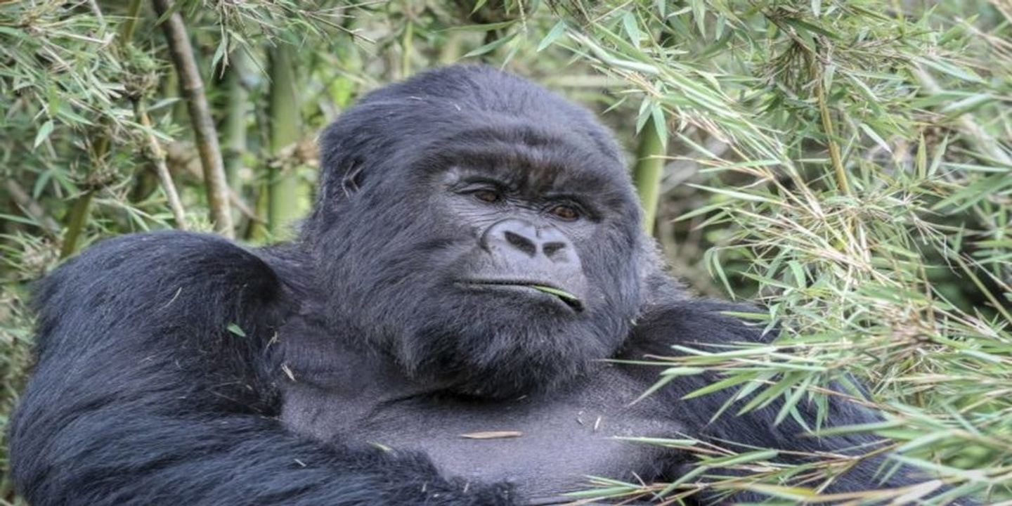 4 Days Gorillas and Chimps Tracking in Uganda from Kigali
