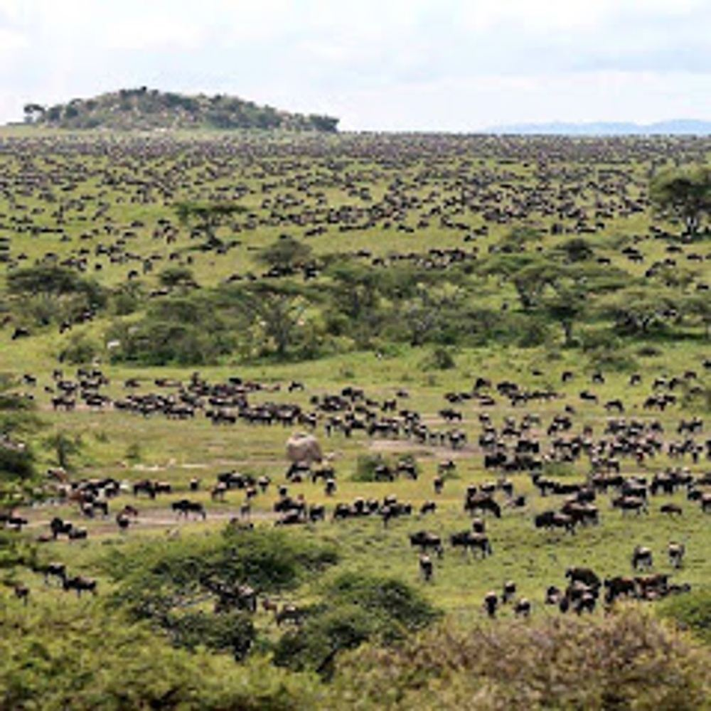 The Great Wildebeest Migration Kenya Safari.