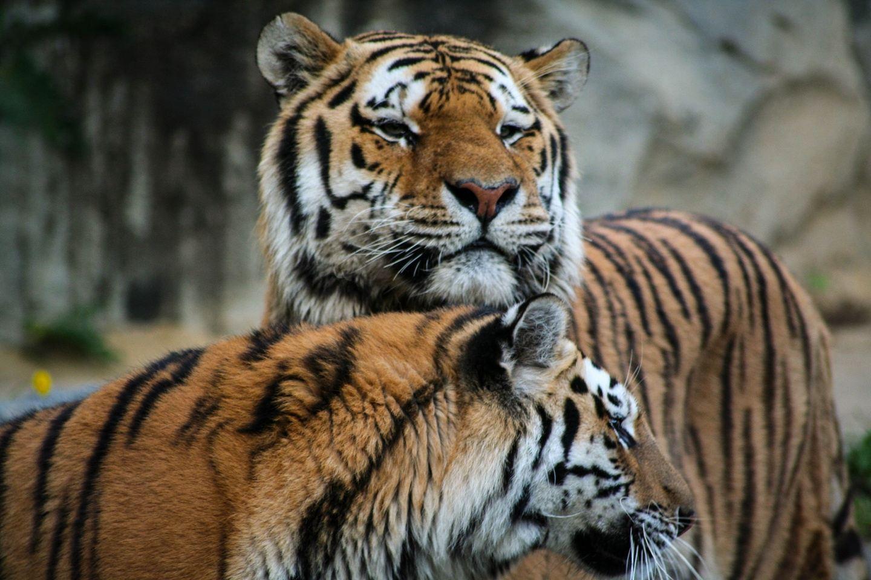Royal Bengal Tiger's Kingdom Sundarban