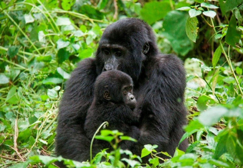 10 Day Uganda Gorillas, Chimps, Safari and Culture