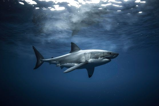 Dive with Great White Sharks!