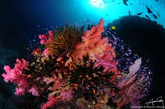 Fiji: Soft Coral Capital of the World