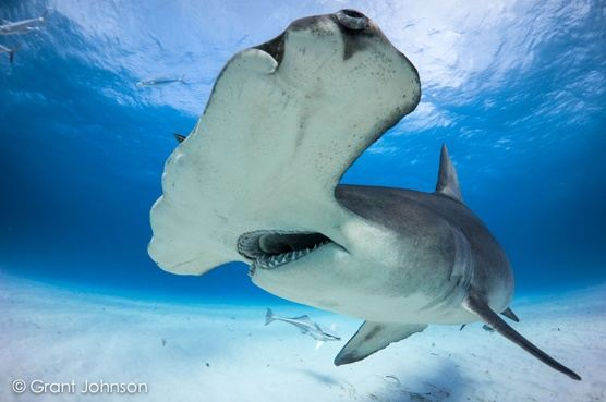Dive with the Great Hammerheads