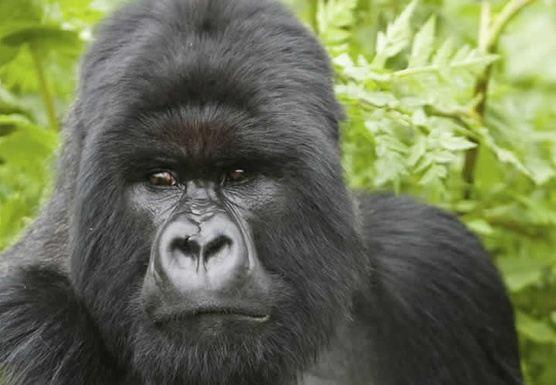Uganda Primate Safari