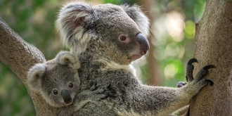 Support our Koalas and Wildlife at The Exchange Hotel, Balmain