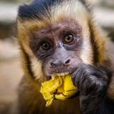 A rescued capuchin monkey named Pepa eats a banana at Parque Machía