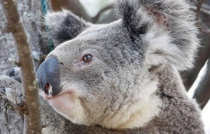 HP_Koala.jpg