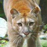 Puma Pangui