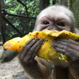 Capuchin monkey Sam loves papaya